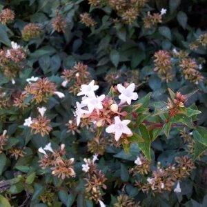 אבליה גדולת-פרחים