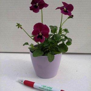צמח עונתי שתול