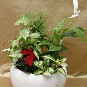 קוקטייל צמחי בית בכלי לבן