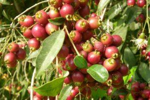 צמחים בעלי פירות קישוטיים לגינה הביתית