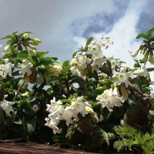 בומונטיה גדולת-פרחים
