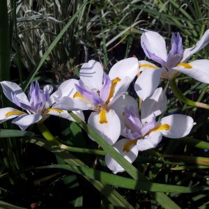 דיאטס גדול-פרחים