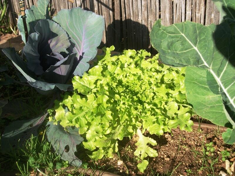 בשימוש בהומוס מתקבלים צמחים בריאים ויפים- חסה