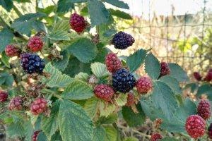צמחים מטפסים בעלי פרי אכיל