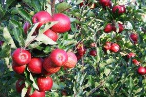 עצי פרי נשירים
